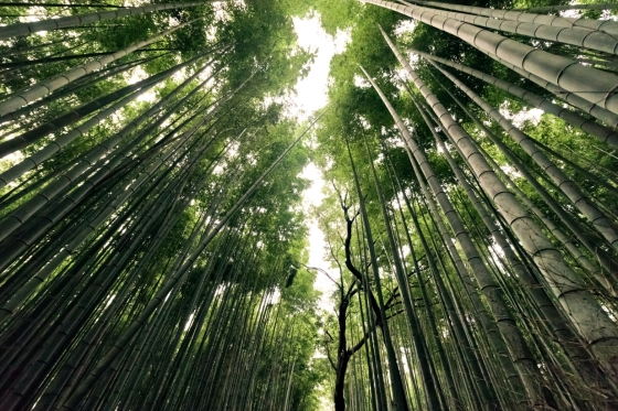 sphoto, sphotohi, sphotohawaii, arashiyama bamboo grove, bamboo forest, japan, kyoto